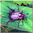 beetleGONE! Phyllom Green Earth Ag & Turf Joe Magazzi Interview